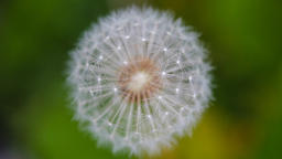 Top view of a dandelion gently moving with the wind during spring. Extreme close Footage