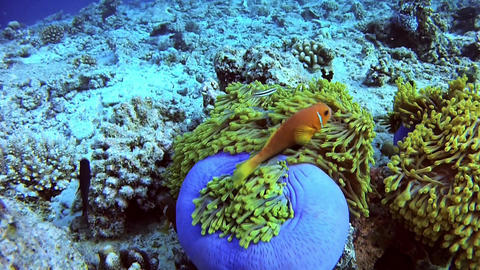 Diving in Maldives - Clownfish Filmmaterial