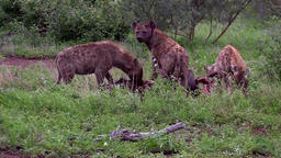 Hyaena (hyena) clan quicky devour wildebeest carcass ビデオ