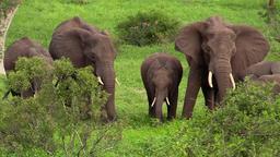 African elephant at waterhole影片素材