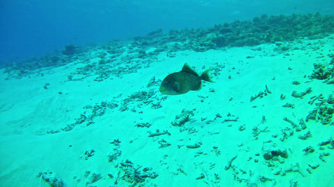 Diving in Maldives - Triggerfish Live Action