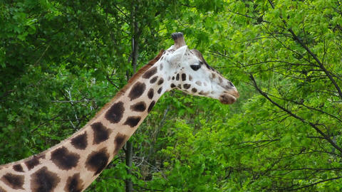 Giraffa camelopardalis Footage