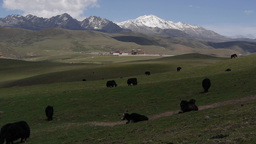 Yaks are grazing,Litang,China, Peoples Rep Footage