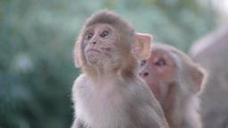 Young monkey in Swayambhunath ,Kathmandu,Nepal Footage