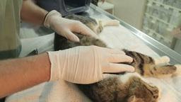 MVI 0711 Sleepy Cat full examination by vet Footage