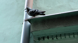 pigeon on the roof edge - eaves Footage