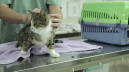 MVI 0696 Veterinarian examines a cat gently Footage