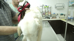 MVI 0652 Lifting a dog to the treatment table Footage