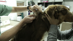 MVI 0636 Giving dog an injection at the clinic Footage