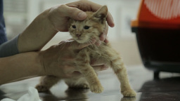 MVI 0517 Petting a kitte מ in a vet clinic Footage