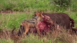 Black-backed jackal gets his turn ビデオ