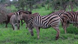 Zebra grazing ビデオ