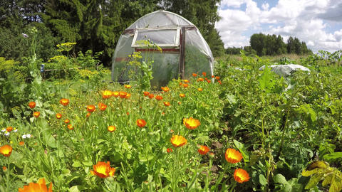 Polyethylene greenhouse in vegetable garden with orange flowering calendula, tim Footage