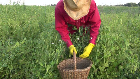 Man wearing yellow rubber gloves wicker cowboy hat and red shirt picking peas in Footage