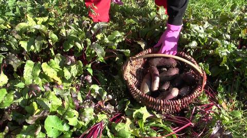 Gardener harvesting beetroot Footage