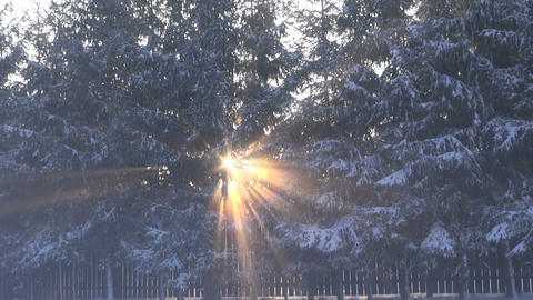 Sun shining through fir trees in winter Footage