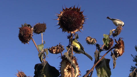 Marsh tits and Great tit eating seeds while perched on sunflower Footage