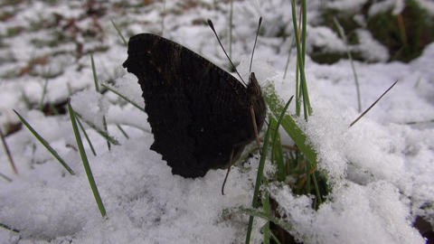 Peacock butterfly crawling on snowy grass Footage