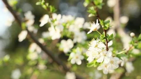Spring Flowering Cherry 3 Footage