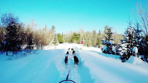 Siberian dog pulling sleigh Footage