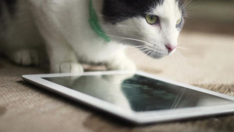 Cat watching blank generic tablet screen on front porch Footage