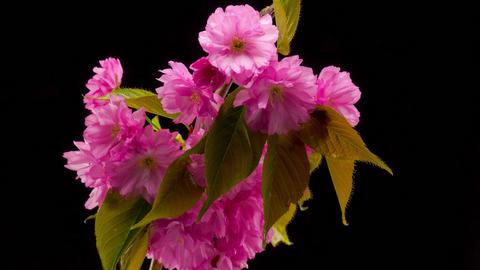 Pink Sakura Tree Flowers Filmmaterial