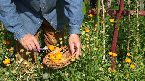 Gardener herbalist picking medical herbs, 4K Footage