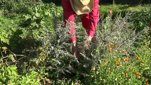 Gardener with cowboy straw hat picking Absinth wormwood herbs in garden, 4K Footage