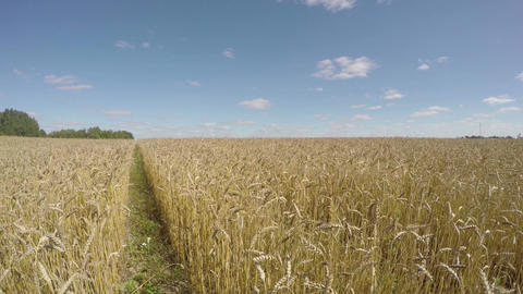 Field of wheat on sunny summer day, time lapse 4K Footage
