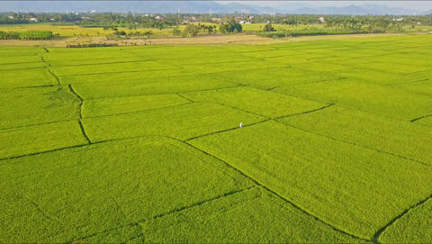 Drone Removes from Small Figure among Green Rice Fields Footage
