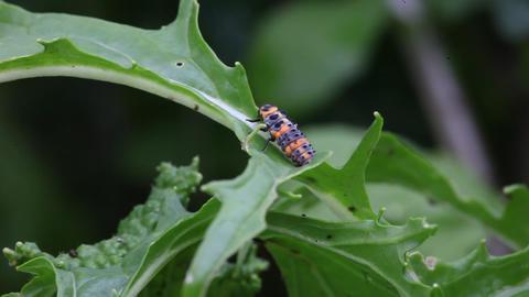 Ladybug larva on plant Footage