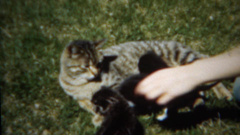 1953: Mama cat laying on green grass while kittens cuddle Footage