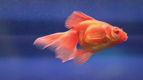 Fish In Aquarium 3 Footage