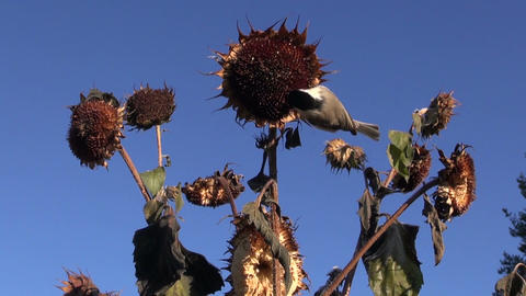 Marsh tit eating seeds while perched on sunflower Footage