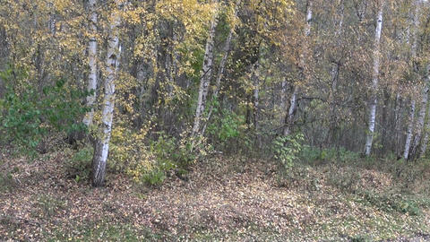Birch trees by the clearing with falling leaves Footage
