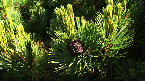 Siberian Pine (local named Cedar) Stock Video Footage