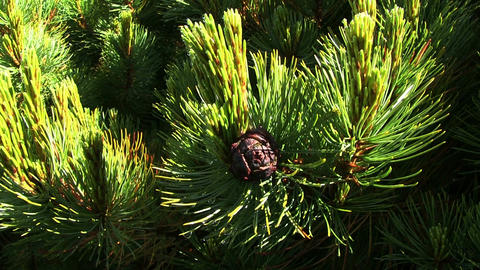 Siberian Pine (local named Cedar) Footage