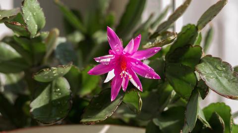 Pink Flower Zygocactus Schlumbergera Time Lapse 4K Animation