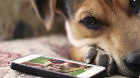 Pet Dog owner video chats over smartphone with sad puppy who misses him Footage