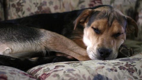 Adorable Beagle Puppy sleeping on floral couch - medium shot Footage