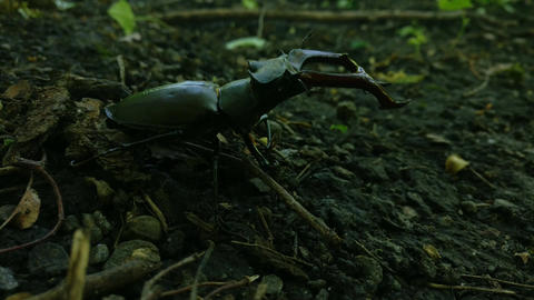 Stag-beetle (Lucanus cervus) close up Footage