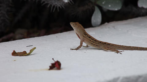 Male Anole puffing it's neckflap Live Action