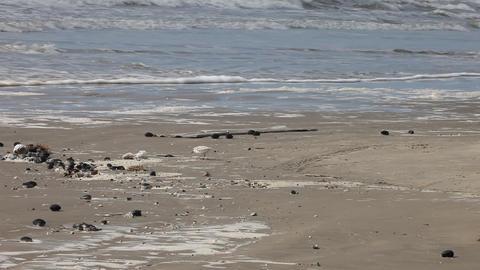 Shorebirds feeding Footage