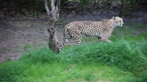 Cheetah walking around Footage