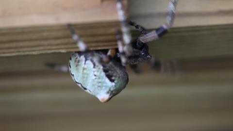 Orbweaver Spider Footage
