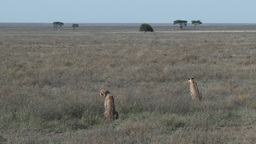 Cheetah's looking over the plains Footage