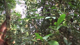 monkey hanging in tree Stock Video Footage