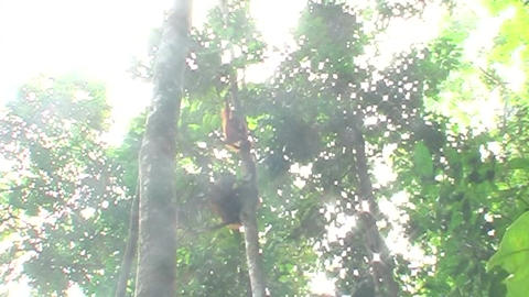 monkey hanging in tree Footage