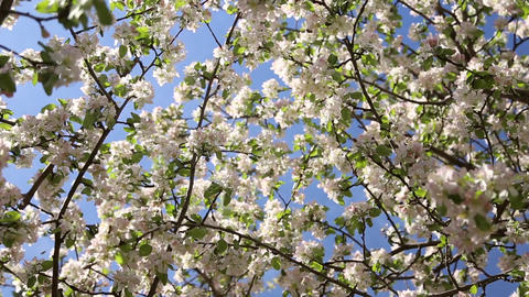 Blossoming apple trees Footage