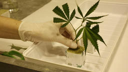 Hemp research scientist medical cannabis, cutting leafs for cultivation rockwool Footage